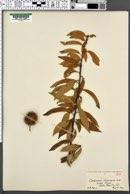 Image of Castanopsis chrysophylla