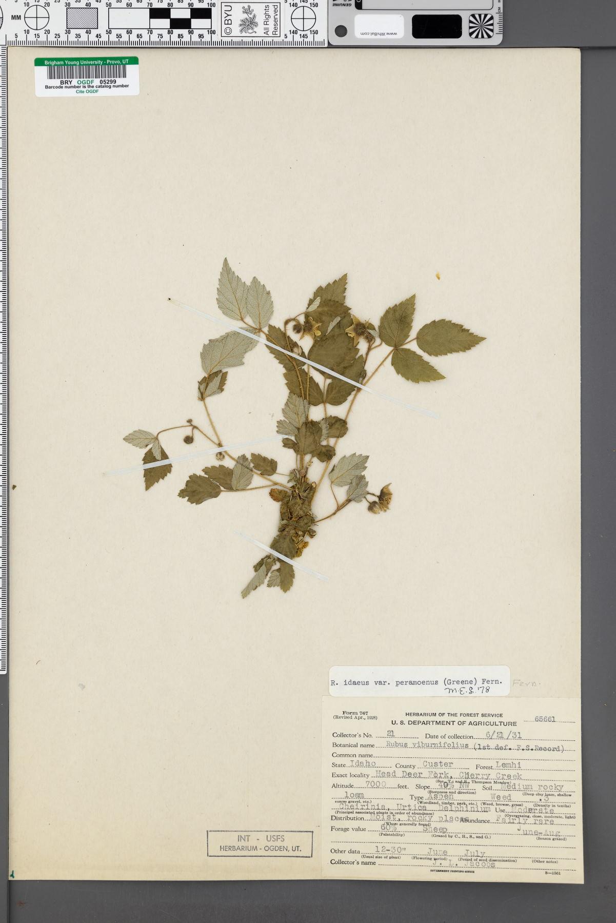 Rubus idaeus var. peramoenus image