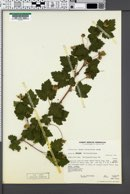 Image of Rubus bartonianus