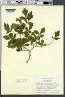 Rhus aromatica var. trilobata image