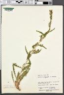 Mentzelia cronquistii image