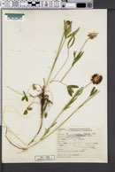 Trifolium douglasii image