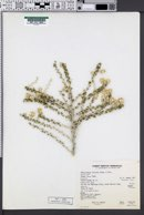 Tetradymia spinosa image