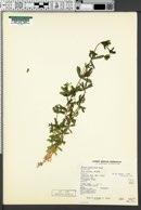Galium mexicanum image